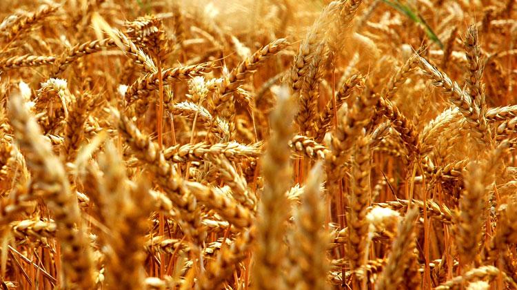 Weizenwampe - Warum Weizen krank und dick macht!