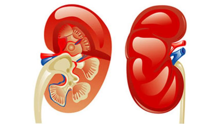 Der ultimative Hausputz für die Nieren | gesund & aktiv Magazin