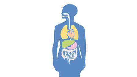 Die Leber - unsere Stoffwechselzentrale