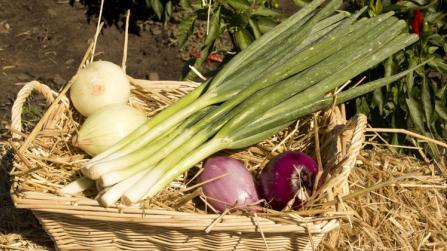 Zwiebel – beliebt in Küche und Hausapotheke